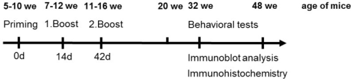 Time scale of the applied immunization protocol and behavioral tests, as well as the time points of immunoblot and immunohistochemical analysis, we = weeks.