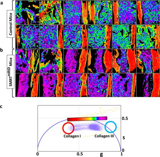 Separation of collagen I and III in normal and fibrotic bone marrows.(Fig. 5a) and (Fig. 5b) show the phasor masked FLIM images of the non-fibrotic wild type mice and fibrotic SMRTmRID mice, respectively. The more violet color in the Fig. 5b is representative of higher contribution from collagen III. Figure 5c shows the phasor plot and the continuous cursor used for the analysis.