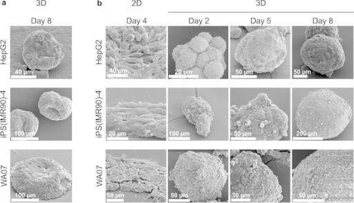 Morphology of human pluripotent stem cells and hepatocellular carcinoma cells with and without silica bioreplication.(a) SEM images of HepG2, iPS(IMR90)-4, and WA07 cell spheroids show deformation of 3D spheroids. (b) SEM images of HepG2, iPS(IMR90)-4, and WA07 cell spheroids after silica bioreplication show well-preserved spheroid architecture and tight cell-cell contact in the NFC hydrogel-based 3D cultures. Images are representative of eight biological samples.