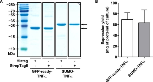 Expression of soluble TNFα recombinant proteins in E. coli.(A) SDS-PAGE profiles with 2 μg of purified TNFα fusions, after Coomassie blue staining. Bands indicated with an arrow correspond to the expected recombinant proteins. From left to right: Histag GFP-ready-TNFα (MW: 26.5 kDa), StrepTagII GFP-ready-TNFα (MW: 26.6 kDa), Histag SUMO-TNFα (MW: 30.0 kDa), StrepTagII SUMO-TNFα (MW: 30.1 kDa). (B) Expression yields of Histagged GFP-ready-TNFα and SUMO-TNFα. Quantitation performed by biolayer interferometry with Ni-NTA sensors (n = 4).