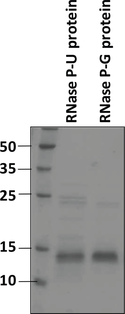 SDS-PAGE analysis of purified protein preparations.The two purified protein preparations of M. tuberculosis RNase P expressed in E. coli were analysed by SDS-polyacrylamide gel electrophoresis on a 14% gel. Molecular weight markers are shown in kDa.