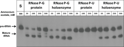 Activity of RNase P-G and RNase P-U holoenzyme complexes at different ammonium acetate concentrations.The pre-tRNA processing activity of RNase P-G and RNase P-U proteins and their holoenzymes was assayed in the presence of different concentrations of ammonium acetate. To reconstitute the RNase P holoenzyme, 50 nM RNase P RNA and 100 nM RNase P protein were used. For protein alone activity, 100 nM protein was used in the assays.