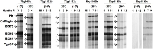 Reactivity patterns of immunoreactive invariant trypanosome proteins during BALB/c mice infections.Four mice were infected with either a low (103) or a high (106) load of Tbg945b, Tbg1122b, Tbg1166b, Tbg1135b or Tbg1135c isolates and their sera collected at different time points were tested by Western blotting (1/100 dilution) against a strip loaded with recombinant protein: 0.5 μg PFR and ISG75, 1 μg ISG65, ISG64 and TgsGP and 2 μg calflagin. The data are representative of one immunoblot out of 4 mice tested. NI represents the control sera before infection.