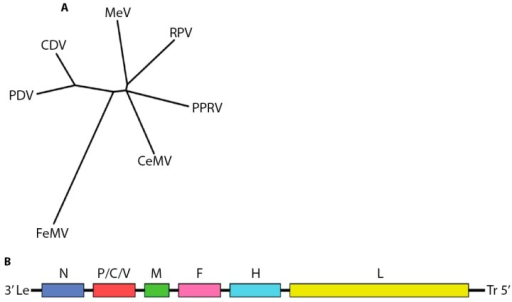 Overview of the morbillivirus genus. (A) Phylogenetic analysis of amino acid sequences of nucleocapsid genes of different morbillivirus reference strains. The unrooted tree was constructed using the neighbor-joining method. Branch lengths are relative and proportional to the number of substitutions. The unit of branch length is the number of substitutions (excluding gaps) at each given nucleotide position. Alignments were made with ClustalW2 [2,3,4] and trees rendered with Drawtree from the PHYLIP package 3.67 [5,6]. Genbank accession IDs: FeMV JQ411014; MeV NC_001498; PDV P35944; PPRV NC_006383; CeMV NC_005283; CDV NC_001921; RPV YP_087120.2); (B) Cartoon of morbillivirus genome organization.