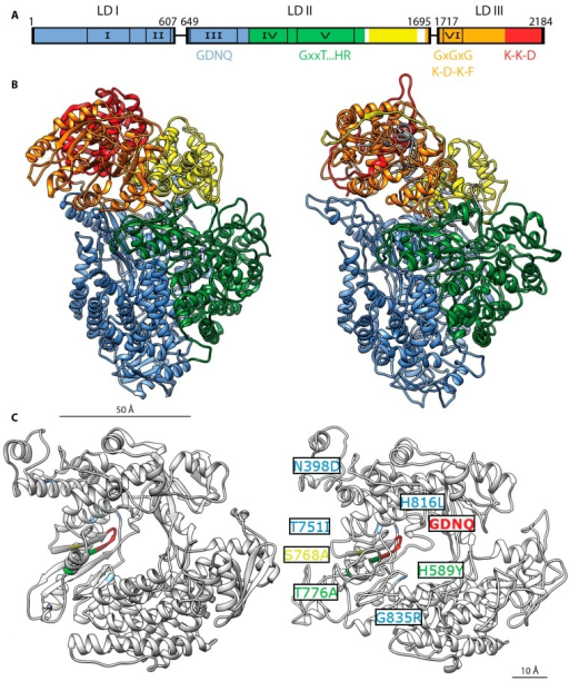 MeV L protein architecture. (A) Organization of three conserved domains (LD I–III) separated by two variable regions in the morbillivirus L protein (linker I: residues 607–649, linker II: residues 1695–1717) [29,78]. Six, conserved regions (CRs) present in all mononegavirales L proteins are numbered I to VI: residues 217–408, residues 495–599, residues 653–876, residues 927–1092, residues 1129–1376, and residues 1754–1831 respectively [83]. Color coding of the functional domain organization based on VSV L [97]: RdRp domain in blue, residues 1–924, capping domain in green, residues 925–1416, connector domain in yellow, residues 1439–1634, methyltransferase domain in orange, residues 1680–2018 and C-terminal residues 2019–2184. Specific conserved motifs involved in enzymatic activity are highlighted: GDNQ (residues 772–775), RdRp activity [76,98]; GxxT … HR (residues G1214, T1217, H1288, R1289, putative polyribonucleotidyl-transferase activity [95,99]; GxGxG (residues G1788, G1790, G1792), putative S-adenosyl-l-methionine binding site [100]; K-D-K-E (residues K1766, D1881, K1917, E1954), putative methyltransferase activity [91,92]; K-K-G (residues K2169 K2173 G2176), putative guanylyltransferase activity [88]; (B) Left: Ribbon representation of the cryo-EM structure of the VSV L protein [97]. Functional domains are rendered with the same color pattern. Right: homology model of the MeV L protein (derived from the Edmonston strain) rendered using the Swiss model server on the basis of the density maps released for VSV L [101]; (C) Mapping of the resistance mutations of the allosteric morbillivirus polymerase blocker ERDRP-0519 class [18,102]. Close-up view of the VSV L (left) and MeV L (right) polymerase catalytic site. The GDNQ tetrad is rendered in red. VSV L residues corresponding to resistance hotspots in MeV or canine distemper virus (CDV) L are rendered in yellow (MeV residue S768A), blue (CDV residues T751I, H816L, and G835R) and green (MeV and CDV residues H589Y and T776A) [102]. Corresponding residues on VSV L are rendered using the same color pattern.