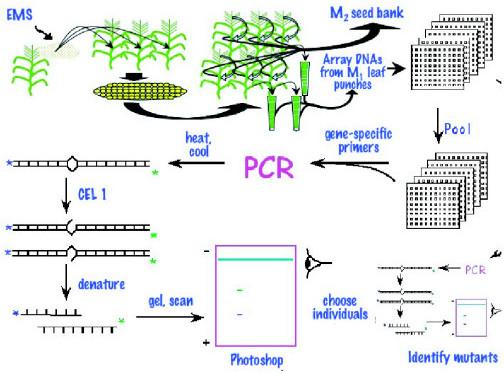 Schematic diagram of maize tilling fresh pollen is col open i schematic diagram of maize tilling fresh pollen is collected and mutagenized with ethylmethanesulfonate ems ccuart Images