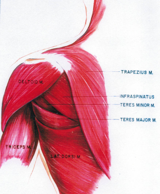 deltoid muscle; triceps brachii muscle; latissimus dorsi muscle; trapezius muscle; infraspinatus; teres minor muscle; teres major muscle