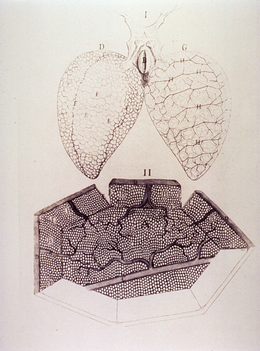 <p>The lungs of a frog with a cross sectional microscopic view showing the vascular structures.</p>