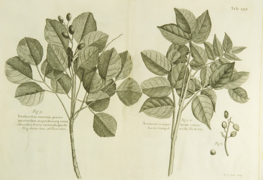 <p>Illustration of the braches, leaves, and nuts of the two types of trees.</p>