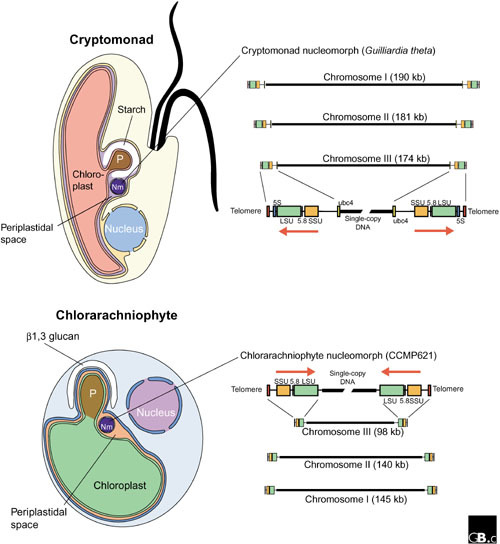 Diagrams of cryptomonad and chlorarachniophyte cells an open i diagrams of cryptomonad and chlorarachniophyte cells and their nucleomorph nm genomes cryptomonad and ccuart Image collections