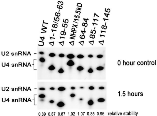 Stability of wild-type and mutated U4 snRNA. 32P-labeled U4 snRNA (mutants or wild type) were injected into oocyte nuclei; nuclear RNA was isolated and analyzed by 8% polyacrylamide, 8 M urea gel electrophoresis (PAGE). The top panel shows the controls (sample recovery immediately after injection, 0 h), the bottom panel shows the short-term stability at 1.5 h (the time when localization assays were performed). To determine the stability of the various RNAs after nuclear injection, 32P-labeled U2 snRNA was coinjected and served as an internal control to normalize for any differences in injection or recovery of the samples. The relative RNA stability is the ratio [(U4 RNA transcript/U2 after incubation)/(U4 RNA transcript/U2 at 0 h)]. All the mutants are stable at the 1.5-h time point used for analysis of nucleolar localization.