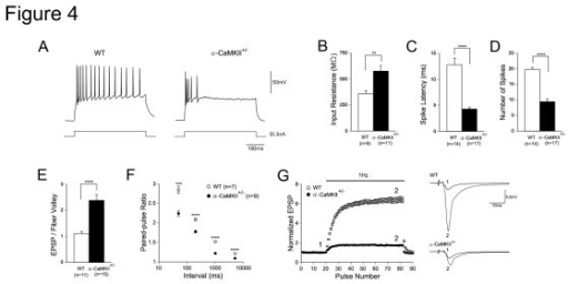 Altered Granule Cell Excitability and Mossy Fiber Synaptic Transmission in Alpha-CaMKII+/- Mice. (A) Examples of action potential firing of granule cells in wild-type and mutant mice evoked by steady depolarizing currents (320 pA, 400 ms). (B) Increased input resistance in mutant mice (P = 0.0029). (C) Reduced spike latency in mutant mice (P < 0.0001). Depolarizing currents (320 pA) were injected into granule cells and the latency of the first action potential was measured. (D) The maximal number of spikes evoked by 400 ms depolarizing currents was decreased in mutant mice (P < 0.0001). (E) The efficacy of basal transmission at the mossy fiber synapse was increased in mutant mice (P < 0.0001). The ratio of the peak EPSP amplitude to fiber volley amplitude is shown. (F) Reduced paired-pulse facilitation ratios of EPSPs at intervals ranging from 50 to 5000 ms in mutant mice. (G) Mutant mice had greatly reduced frequency facilitation at 1 Hz. Sample EPSPs were recorded at the time indicated by the numbers in the graph. Error bars indicate s.e.m.