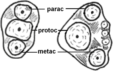 Evolution of the tribosphenic teeth. Diagram explaining the evolution of the in-straight-line cusps of upper molars (left), to shaping the triangle (right) aiming to better grinding of the food. (parac=paracone, protoc=protocone and metac=metacone).