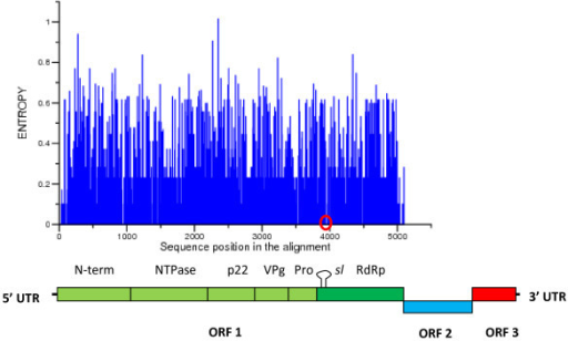 Shannon entrophy in ORF1 of Human NoV strains. The Shannon entropy at each position of the alignment is shown. Location of positions 3922 through 3973 of the alignment (which includes the AAACG motif) in a sequence region with zero entropy is shown by a red circle. A scheme showing the position of each gene in the NoV genome is shown below the graph. The location of the stem-loop is indicated sl.