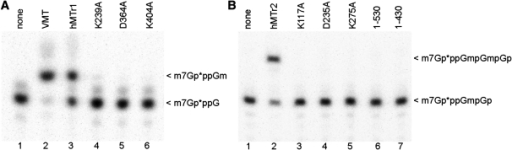 Analysis of hMTr1 and hMTr2 mutants. In vitro transcribed RNA-GG molecules with 32P-labeled cap0 (A) or cap01 (B) structures were incubated with indicated enzymes [wild-type (hMTr1, hMTr2), alanine-substituted variants of hMTr1 (K239A, D365A, K404A) and hMTr2 (K117A, D235A, K275A) or truncated forms of hMTr2 (1–530, 1–430)] in the presence of SAM. Purified product RNA was digested with nuclease P1 (A) or RNase T2 (B). Digestion products were resolved on a 21% polyacrylamide/8 M urea gel and visualized by autoradiography. Asterisks indicate positions of 32P-labeled phosphates.
