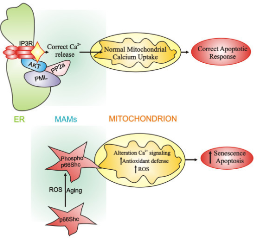 PML and p66Shc regulates cell span at the MAMs level. The tumor suppressor PML in resting conditions resides in a specific multi-protein complex with IP3R, PP2a and AKT, essential for a normal Ca2+ flux from ER to mitochondria and, consequently, for correct apoptosis levels (upper panel). Aging and ROS determine phosphorylation and accumulation of p66Shc in the MAMs fraction. The presence of phospho-p66Shc at the mitochondrial level determines alterations in mitochondrial homeostasis, including Ca2+ signalling, and ultimately increases apoptotic and senescence responses (lower panel).
