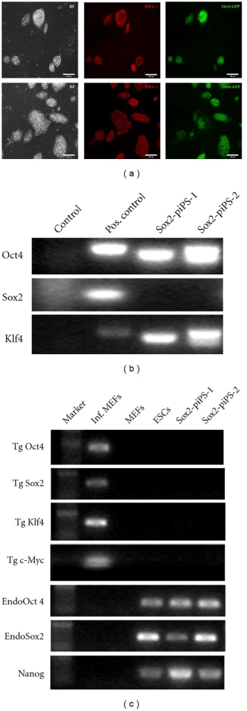 Cellular and molecular characterization of iPS clones derived by Sox2 protein transduction into OKC-MEFs. (a) Pictures of isolated cell lines Sox2-piPS-1 (upper row) and Sox2-piPS-2 (lower row) exhibiting brightfield (BF), staining against pluripotency-associated marker SSEA-1 and native GFP fluorescence. Sox2-piPS-1 cell line was clonally isolated from 400 nM Sox2-TAT treatment from day 1 to 5, and Sox2-piPS-2 was derived from 200 nM condition (day 5 to 10) Scale bar = 100 μm. (b) PCR analysis of genomic DNA demonstrating genomic integration of Oct4 and Klf4 transgenes. As expected, no transgenic Sox2 was detected in Sox2-piPS clones excluding possibility of contamination. (c) RT-PCR analysis demonstrating transgene silencing in Sox2-piPS cells. Primers specific for transgenic Oct4, Sox2, Klf4, and c-Myc were used. Additionally, we analyzed endogenous Oct4, Sox2, and Nanog transcripts. RNA preparations from infected (Inf.) and uninfected MEFs as well as ES cells served as controls.