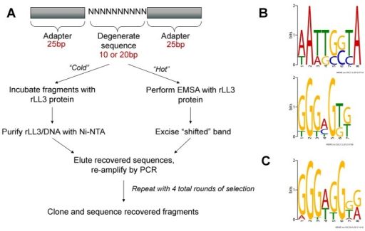 "PCR-assisted DNA-binding site selection reveals consensus LL3 DNA-binding motifs.(A) Experimental outline of the two methods [""cold"" (non-radioactive) or ""hot"" (radioactive)] used to obtain consensus DNA binding sites for rLL3 by PCR-assisted DNA-binding site selection. Consensus motifs obtained from the ""cold"" method using a 10 bp degenerate sequence (B) or from the 20 bp degenerate sequences recovered using the ""hot"" method (C) are shown to the right. All recovered sequences used as input to generate the consensus motifs are listed in Table S2 and all motifs generated by the MEME program are displayed in Figure S4. EMSA: Electrophoretic Mobility-Shift Assay."
