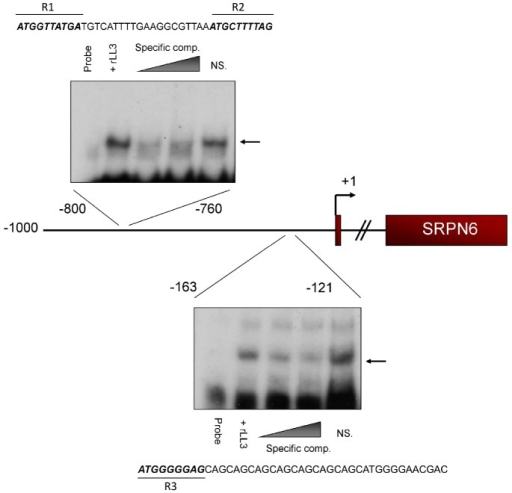 rLL3 binds to specific regions of the SRPN6 promoter.Experiments identified that recombinant LL3 protein interacts with two ∼40 bp regions within the putative SRPN6 promoter (Figs. S5 and S6). Gel shift assays including competition with specific and non-specific (NS) competitors are illustrated for the two regions, with the respective sequences provided above or below. The nucleotides identified by mutational analysis (Figure S6) as being critical for LL3-DNA interactions are in bold italics and labeled as R1 through R3.