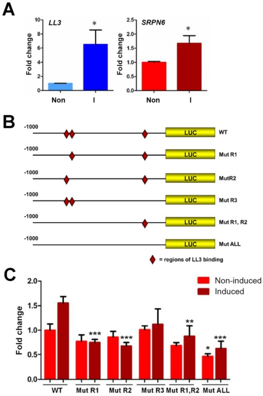 Luciferase expression in a mosquito cell line suggests the involvement of LL3 in the regulation of SRPN6 expression.Expression of LL3 and SRPN6 mRNAs in response to heat-killed E. cloacae was investigated in hemocyte-like Sua5B cells (A). LL3 and SRPN6 mRNA abundance was determined by qRT-PCR in cells that were non-induced (non) or after exposure to E. cloacae for 6 h (I). Transcript abundance was normalized to that of rpS7 in two independent biological samples and analyzed by the Student's t-test for significance. Asterisks denote significant changes upon bacterial induction (P<0.05). The constructs outlined in (B) were used to assess the ability of LL3 to modulate luciferase expression from a SRPN6 promoter. Red diamonds indicate the locations of LL3-binding sites in the wild type promoter (wt) and their presence/absence in each of the mutated promoter constructs. Individual mutants (R1, R2, or R3) correspond to those sites shown in Figure 5, and were combined to create double (R1,R2) or triple mutants (ALL). (C) Each construct was transfected into Sua5B cells and luciferase expression was measured under basal conditions (non-induced) or upon induction with heat-killed E. cloacae (induced). Expression was normalized to that of the non-induced wild type SRPN6 promoter in triplicate experiments. The values of two biological repeat experiments were pooled. Asterisks denote significant changes when compared to the wild type construct for each treatment (* = P<0.05, ** = P<0.01, or *** P<0.001) as determined by a Two-way ANOVA and Bonferroni post-test.
