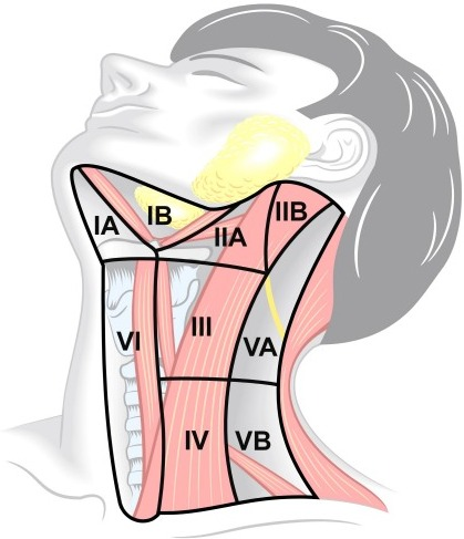 Topography of the cervical lymph node regions with desc   Open-i