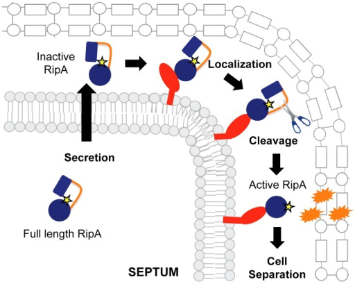 Model for RipA activation through proteolytic processing and protein interactions.RipA is produced as a full length zymogen with an N-terminal secretion signal. Once in the periplasm, RipA can bind to its interaction partners, leading to recruitment of proteases that cleave the extended loop between an N-terminal blocking domain and the C-terminal peptidoglycan hydrolase domain. The cleaved RipA C-terminal domain is now active and functions by cleaving the septal peptidoglycan, splitting the daughter cells, perhaps in conjunction with other hydrolases.