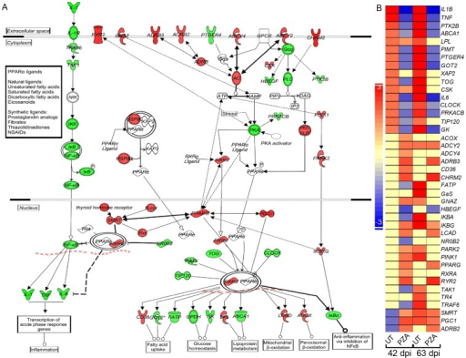 Expression of canonical PPAR and NF-kB pathway genes in the untreated or PZA-treated infected mouse lungs.(A). Canonical PPAR and NF-kB pathway map showing interaction of genes in the untreated Mtb-infected mouse lungs at 42 days. The legends for gene symbols are the same as in Figure 4. Red and green symbols in the networks indicate up-, and down-regulation of SDEG and the gradation in the color intensity of symbols is proportional to their relative expression level. (B). Intensity map of 41 SDEG involved in the PPAR and NF-kB pathways in the untreated and PZA-treated mouse lungs at 42 and 63 days. The scale bar ranges from +3 (up-regulated; red) to –3 (down-regulated; blue).