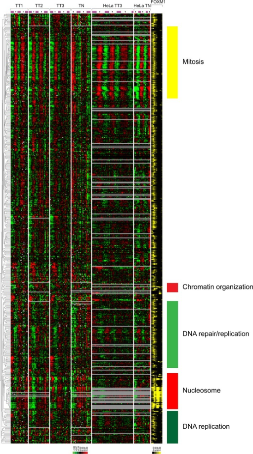 The expression profiles of genes bound by FOXM1. The clustered U2OS and HeLa cell expression profiles of the 501 genes bound by FOXM1 that are cell cycle regulated in U2OS cells. FOXM1 transcription factor binding is shown as percentage coverage of the UCSC genome browser gene model as defined by GCA for each gene (see Supplemental Figure S6 for more detail).
