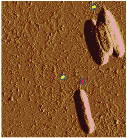 "Atomic force micrograph of Xylella fastidiosa ""Temecula"" wild-type cells. Yellow arrows indicate T4P, while red arrows indicate shorter type I pili. Both types of pili are present at the same cell pole."