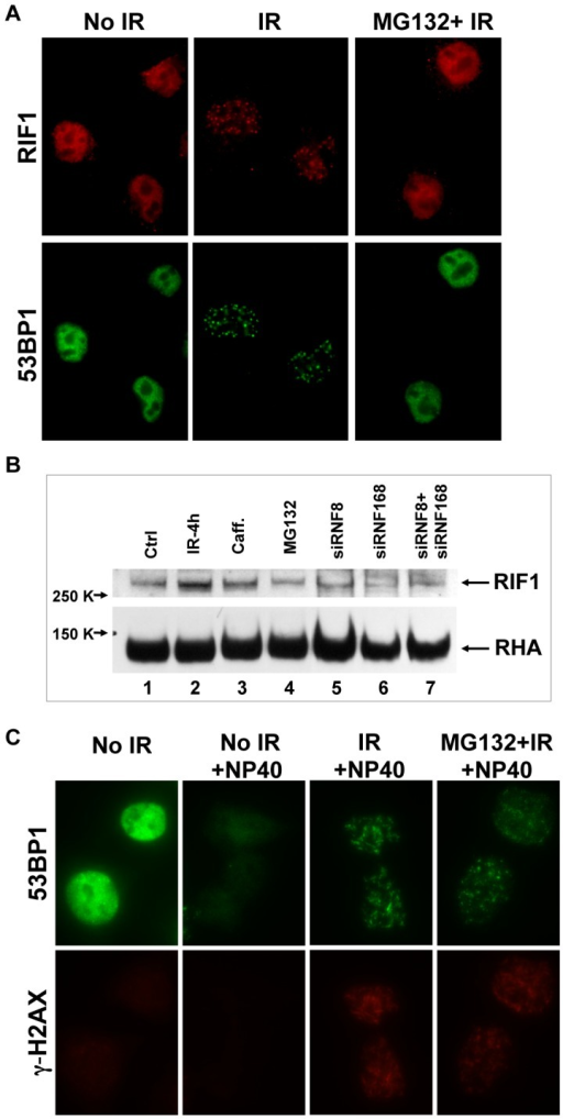 Inhibition of 53BP1 degradation causes failure to recruit RIF1 to the DSB sites.A. HeLa cells were treated with or without MG132 (20 µM) before exposure to 10 Gy X- irradiation. 4 h post-IR, cells were fixed for immunofluorescence microscopy as indicated. B. different treatments were applied to HeLa cells and immunoblot for RIF1 was done. Ctrl, no treatment (lane 1) or4 h post 10 Gy-IR (lanes 2–7). Additional treatments included caffeine (10 mM; lane 3) MG132 (20 µM; lane 4), siRNA specific for RNF8 (lane 5), siRNA specific for RNF168 (lane 6), and mixed siRNA specific for both RNF8 and RNF168 (lane 7). C. MG132 (20 µM) was included in medium 30 minutes prior to exposure to 10 Gy X-ray irradiation. At 4 h post-IR, HeLa cells were extracted in situ with cell extraction buffer (Material and Methods) on ice for 15 min (+NP40) or not extracted. Cells were fixed and stained for immunofluorescence microscopy as above.