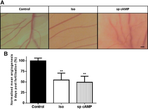 β-AR activation and sp cAMP decreases embryonic angiogenesis. CAM assays were performed as described. The CAMs were treated with 10 µM Iso or 50 µM sp cAMP at day 5. Eggs were imaged every 24 h until day 10. Images depicting representative angiogenesis 9 days post fertilisation are presented; scale bar = 1 mm (A). Images were analysed by counting the total number of vessel branch points per field of view. The mean total number of vessel branch points per field of view was then calculated for control and treatment groups to give a mean amount of angiogenesis. The data shown were combined from 3–16 independent experiments using a total of 28 eggs (control N = 16; Iso N = 9; sp cAMP N = 3). Data were statistically analysed, normalised to the control mean value for angiogenesis and graphically represented with the bars representing the means ± SEM. (** P < 0.01) (B).
