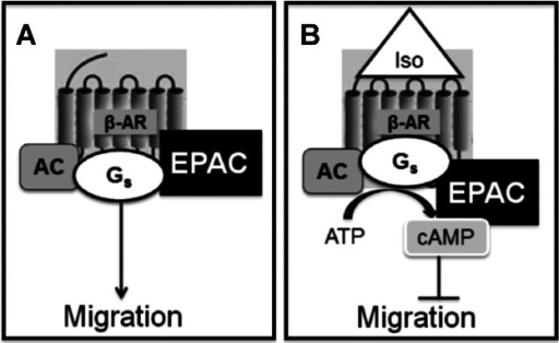 A model to describe the pathways that inhibit HDMEC migration. A β-AR-AC-EPAC complex is present in HDMEC membranes. In the absence of β-AR activation, HDMEC migrate normally (A). Upon β-AR activation, highly localised cAMP is generated which, via EPAC in the complex, inhibits HDMEC migration (B).
