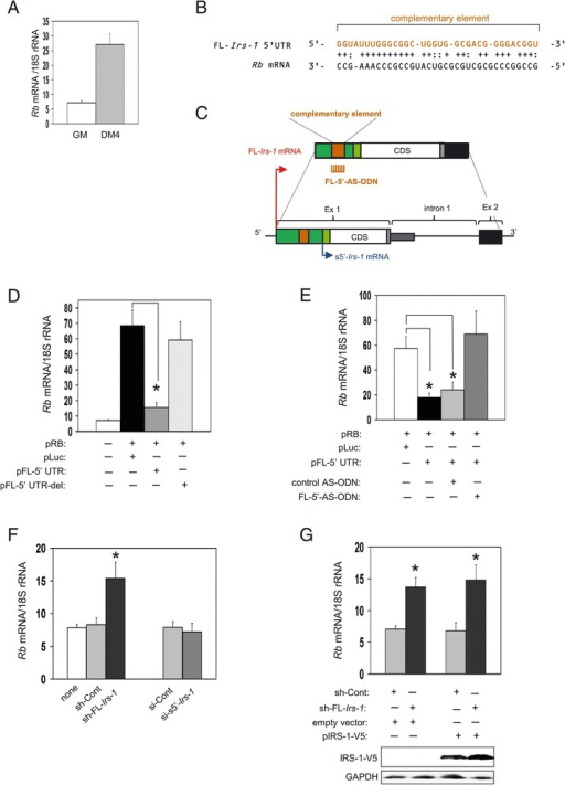 FL-Irs-1transcript reduces Rb mRNA levels. (A) Expression levels of Rb mRNA in C2C12 myoblasts (GM) and myotubes (DM4). (B) Partial sequence complementarity between the 5′UTR of FL-Irs-1 transcript (nt 373 – nt 405) and Rb mRNA (nt 131 – nt 165). (C) Schematic representation of position of complementary element in the 5′UTR of FL-Irs-1 transcript. A position of an LNA-based antisense oligonucleotide (FL-5′-AS-ODN) is shown. (D) Effect of FL-Irs-1 5′UTR on Rb mRNA expression levels. C2C12 myoblasts were untransfected (−) or transfected with an Rb mRNA-expressing plasmid in combination with the indicated effector plasmid (pFL-5′UTR, pFL-5′UTR-del). Rb mRNA levels were measured by qRT-PCR. Mean ± SD, n = 4-5, *p < 0.01 versus control transfectant (pRB + pLuc). (E) Effect of FL-5′-AS-ODN on Rb mRNA reduction by FL-Irs-1 5′UTR. C2C12 myoblasts were co-transfected with plasmids expressing Rb mRNA and the FL-Irs-1 5′UTR RNA in combination with the indicated AS-ODN. Mean ± SD, n = 4-5, *p < 0.01 versus control transfectant (pRB + pLuc). (F) Effect of knockdown of endogenous FL-Irs-1 transcript on endogenous Rb mRNA levels. C2C12 myoblasts were transfected with the indicated shRNA or siRNA. Mean ± SD, n = 4, *p < 0.01 versus no treatment (none). (G) Effect of supplementary expression of IRS-1 protein on Rb mRNA levels under FL-Irs-1 transcript knockdown conditions. C2C12 myoblasts were transfected with the sh-FL-Irs-1 plasmid in combination with a plasmid encoding IRS-1 protein fused to V5 tag (pIRS-1-V5). Expression levels of exogenous IRS-1 protein were determined by immunoblot analysis using anti-V5 antibody. Mean ± SD, n = 3, *p < 0.01 versus control transfectant (sh-Control).