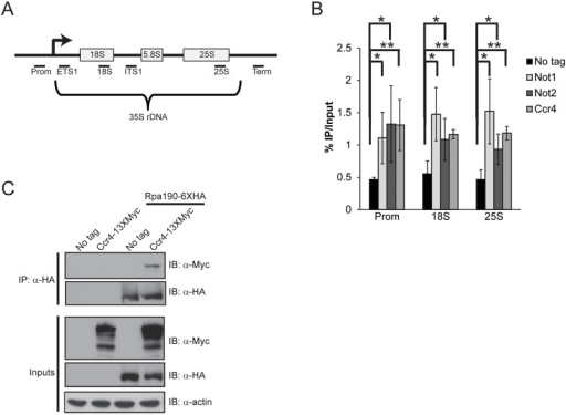 Ccr4-Not binds the rDNA and interacts with RNA Pol I.(A) Schematic of the rDNA locus. The relative position of the qPCR primers used are shown below as black bars. (B) ChIP of Ccr4-TAP, Not1-TAP, and Not2-TAP at the rDNA. The results are the average and standard deviation (SD) of three to four independent experiments. (C) Ccr4 associates with Pol I. 500 μg of cell extract from the indicated strains was utilized for α-HA immunoprecipitation and the presence of Ccr4 determined by α-Myc immunoblot. Statistical significance was determined by Student's t-test. *- p< 0.05; **- p<0.01.
