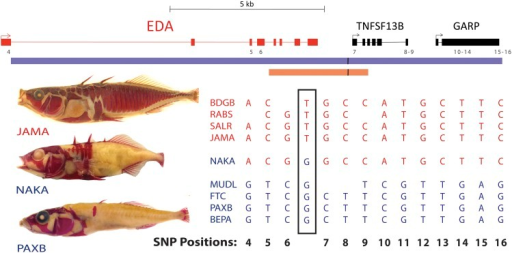 All low-plated populations share a single base pair change in thegenetic region controlling armor plates.Genome-wide comparisons of low- and high-plated fish reveal a T → Gbase pair change (black box) that is shared between all low-platedpopulations tested, including the low-plated Japanese NAKA fish thatotherwise shows a primarily marine-like haplotype in theEDA region. Geographic population codes and DNAsequences from marine high-plated populations and freshwater low-platedpopulations are shown in red and blue, respectively, along withrepresentative Alizarin Red stained fish showing typical armor platepatterns in different fish. The 16 kb candidate interval controlling armorplate number (blue bar, Colosimo et al.,2005) is shown beneath predicated genes in the region. Also shownare the numbered positions (4–16) of previously identified SNPs thatdifferentiate most low- and high-plated sticklebacks other than NAKA (Colosimo et al., 2005). These numberedSNPs correspond to positions chrIV: 12800508, 12808303, 12808630, 12811933,12813328, 12813394, 12815024, 12815027, 12816201, 12816202, 12816360,12816402, and 12816464 in the stickleback genome assembly (Jones et al., 2012). Blank positionsrepresent occasional gaps in sequence coverage for individual fish fromlarge population surveys (Colosimo et al.,2005; Jones et al.,2012). The position of the shared T → G change(chrIV:12811481) is indicated with a short black vertical line in theoverall genomic interval, and in a 3.2 kb region that was used to test forpossible regulatory enhancers in the EDA region (orangebar, chrIV:12808949–12812120).DOI:http://dx.doi.org/10.7554/eLife.05290.004