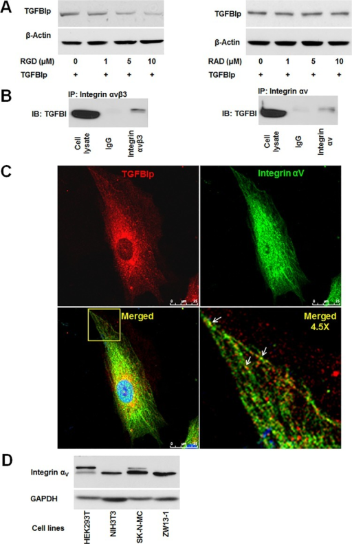 Integrin-dependent endocytosis of TGFBIp in corneal fibroblasts.A. Endocytosis of TGFBIp was blocked by RGD peptide in a dose-dependent manner. Corneal fibroblasts were pre-incubated for 30 min in the absence (lane 1) or presence (lanes 2–4) of RGD or RAD peptides. TGFBIp (~1 μg/mL) was added to the medium and the cells were incubated for 120 min at 37°C. TGFBIp levels were measured by western blot analysis. B. TGFBIp interacts with integrin αVβ3 and αV. Cells were lysed with RIPA buffer and the lysate was immunoprecipitated with anti-integrin αVβ3 (left-hand panel) or anti-integrin αV (right-hand panel) antibody as indicated. Immunoprecipitates were resolved on 10% SDS-PAGE gels and immunoblotted with anti-TGFBIp polyclonal antibody. C. Co-localization of integrin αV with TGFBIp was visualized by confocal immunofluorescence microscopy. The merged images show TGFBIp as red, integrin αV as green, and areas of co-localization as yellow. The boxed area in the lower left-hand panel was magnified and is presented as the lower right-hand panel. Arrows identify regions of TGFBIp and integrin αV co-localization. Scale bars, 5 μm. D. Western blot analysis of HEK293T, NIH3T3, SK-N-MC, and ZW13-1 cell lines with monoclonal antibody against integrin αV. GAPDH was used as a loading control.
