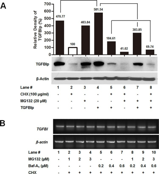 Effects of proteasome inhibitors on TGFBIp internalization.A. Corneal fibroblasts were treated with CHX (to inhibit translation), and MG132 (proteasome inhibitors) or Baf-A1 (lysosomal inhibitors) for 60 min at 37°C, and then incubated with or without TGFBIp for 120 min at 37°C as indicated. The TGFBIp level was analyzed by western blotting. B. RT-PCR analysis of the effect of the specified inhibitors on the mRNA levels of TGFBI.