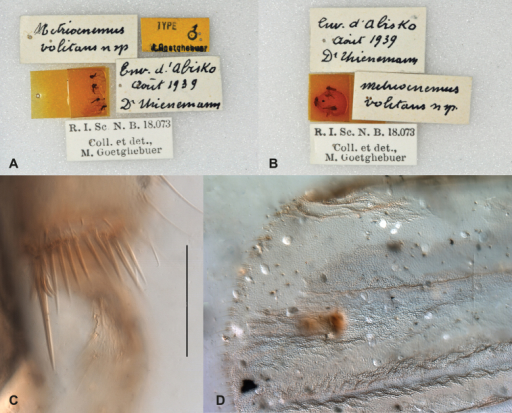 Syntype specimens of Metriocnemusvolitans. A, B specimens and labels on pins C hind tibial comb and spur (scale bar = 50 µm) D wing tip.