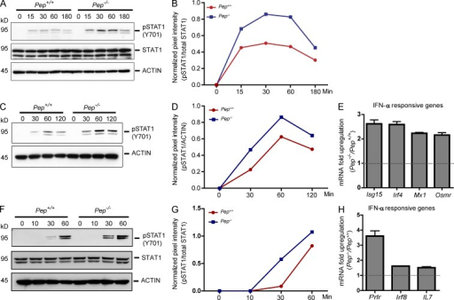PEP is a negative regulator of IFNAR signaling. (A) Freshly isolated Pep+/+ and Pep−/− lineage-depleted BM cells were stimulated with rIFN-α4 (2,000 U/ml) for the indicated times (minutes) and whole-cell extracts were isolated and analyzed for STAT1 activation (phosphorylated STAT1, top; total STAT1, middle) or ACTIN (bottom). (B) Relative band intensity by densitometry of pSTAT1 (α-isoform) normalized to relative band intensity of total STAT1 (α-isoform) from A is shown. (C) Pep+/+ and Pep−/− lineage-depleted BM cells were expanded for 3-4 d in vitro with IL-3 (25 ng/ml), IL-6 (25 ng/ml), and SCF (50 ng/ml), treated with rIFN-α4 (2,000 U/ml) for the indicated times (minutes), and whole-cell extracts were analyzed by immunoblotting for phosphorylated STAT1 (top) and ACTIN (bottom). (D) Relative band intensity by densitometry of pSTAT1 (α-isoform) normalized to relative band intensity of ACTIN from C is shown. (E) Pep+/+ and Pep−/− mice were injected with poly(I:C) for 16 h, and BM progenitors isolated and analyzed for expression of IFN-responsive genes by PCR array. Data are represented as fold up-regulation of Pep−/− relative to Pep+/+ progenitor cells. Relative gene expression is expressed by 2DCt method. P < 0.01 for Irf4, Mx1, and Osmr; P = 0.02 for Isg15. (F) BMDMs from Pep+/+ and Pep−/− mice were stimulated with rIFN-α4 (2,000 U/ml) for the indicated times and whole-cell extracts were isolated and analyzed for phosphorylated STAT1 (top), total STAT1 (middle), or ACTIN (bottom). (G) Relative band intensity by densitometry of pSTAT1 (α-isoform) normalized to relative band intensity of total STAT1 (α-isoform) from E is shown. (H) Pep+/+ and Pep−/− BMDMs were stimulated with rIFN-α4 (2,000 U/ml) for 4 h and analyzed for expression of IFN-responsive genes by PCR array as described in E. Data shown (A, C, E, F, and H) are representative of three independent experiments. Values in graphs represent means ± SEM. Statistical analysis was done by two-tailed paired Student's t test. P < 0.05 for Prlr, Irf8, and Il7.