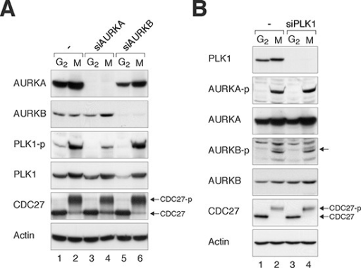 Loss of Aurora kinases disrupts PLK1 activity during mitosis(A) Depletion of AURKA impairs the activation of PLK1. HeLa cells were transfected with control siRNA, siAURKA, or siAURKB. The cells were enriched in G2 phase or mitosis as described in Materials and Methods. Lysates were prepared and the indicated proteins were detected with immunoblotting. CDC27 analysis was included as a marker of mitosis. The positions of the unphosphorylated and mitotic form of CDC27 are indicated. Uniform loading of lysates was confirmed by immunoblotting for actin. (B) Depletion of PLK1 does not affect the activation of AURKA or AURKB. HeLa cells were transfected with control siRNA or siPLK1, before enriched in G2 phase or mitosis as described in Materials and Methods. Lysates were prepared and the indicated proteins were detected with immunoblotting.