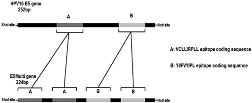 Figure 3. HPV16 E5 and E5Multi genes. The schematic representations of the E5 HPV16 gene (252 bp) with the position of CTL epitope sequences (cassettes A and B) and of the synthetic E5Multi gene (224 bp) with the position of the duplicated CTL epitope sequences (cassettes A and B) are shown together with the restriction sites for directional cloning. The aminoacid sequences of both epitopes are also indicated.