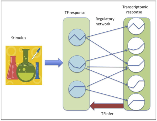 Schematic representation of the TFInfer modelling framework. The conceptual model underpinning TFInfer is that external stimulation elicits transcriptional responses through changes in the activity of transcription factors (TFs). Hence, a stimulus (left-hand side) will determine a change in TF activity (middle layer) which will then result in observable changes in gene expression (right panel). The changes in gene expression depend on the TF activity changes and the wiring diagram of the regulatory network, determining which TF regulates which gene(s). TFInfer adopts a log-linear approximation to model TF-gene interactions in order to solve the inverse problem.