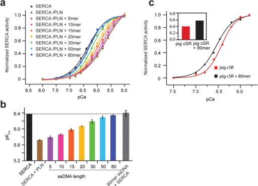 Tunable control of SERCA function using ssDNA of different lengths.Coupled enzyme assays in DOPC:DOPE lipid vesicles. (a) SERCA activity normalized as a function of Ca2+ concentration. Black is SERCA alone, brown is SERCA and PLN; other colors represent addition of different lengths of ssDNA. (b) pKCa values for the different ssDNA lengths derived from the pCa values at half maximum activity of SERCA. (c) Effects of ssDNA on pig cardiac SR preparations.