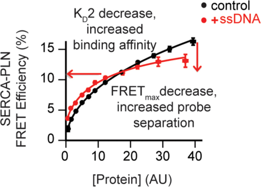 FRET experiments in living cells.ssDNA increased the affinity of the SERCA/PLN interaction, and decreased FRETmax. ssDNA induces a conformational change of the complex, increasing fluorescent probe separation distance.