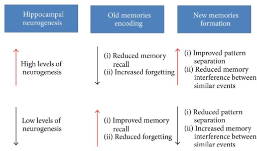 Potential influences of adult neurogenesis on new memory formation and old memory clearance. Increased neurogenesis improves pattern separation when acquiring new information with much overlap and yet accelerates clearance of old memories. Conversely, decreased neurogenesis facilitates the temporal storage of short-term memory and thus enhances memory retrieval in the hippocampus, yet aggravating memory interference of similar events during new information acquisition.