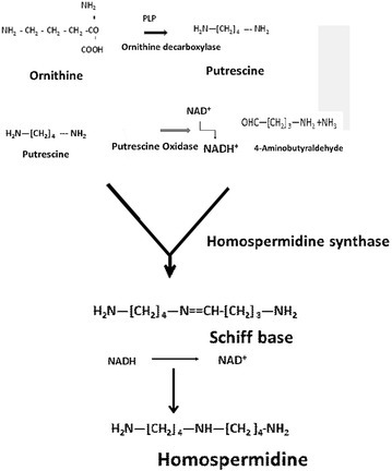 Biosynthesis of sym. homospermidine