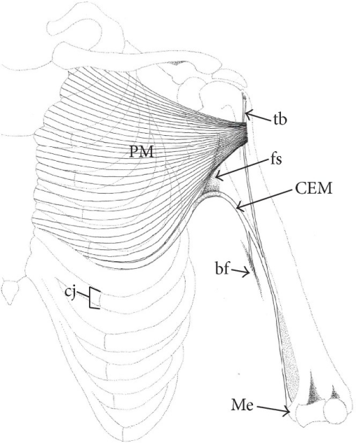 Schematic Drawing Of The Left Thorax And Upper Limb De