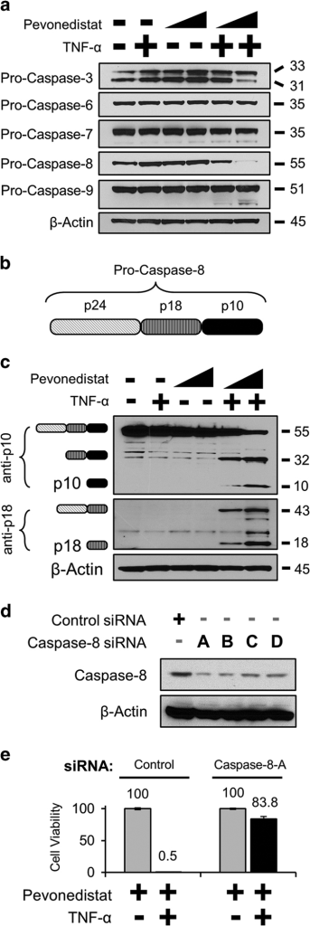 Pevonedistat+TNF-α cytotoxicity is mediated by caspase-8. (a) H-4-II-E cells were treated with 1 or 10 μM pevonedistat±TNF-α for 16 h. Extracts were western blotted for the pro-enzyme form of the indicated caspases. (b) The schematic of the individual subunits of pro-caspase-8 (p24, p18, and p10) are as indicated. (c) Lysates from cells treated with 1 or 10 μM pevonedistat±TNF-for 8 h were western blotted with antibodies specific for epitopes within the caspase-8 p10 (top) or p18 subunits. The predicted caspase-8 subunits are indicated to the left of the image based on the expected size of the product. (d) Lysates from cells transfected with siRNA oligonucleotides against either a non-targeting control or against caspase-8 were western blotted for full-length caspase-8. (e) Cells were transfected with either a non-targeting control or the caspase-8-A siRNA. Four days later, cells received the indicated treatments and viability was assessed after an additional 48 h. All viability experiments were performed in triplicate, and error bars indicate±S.E.M. Approximate molecular sizes of proteins (in kDa) are given to the right of blots.