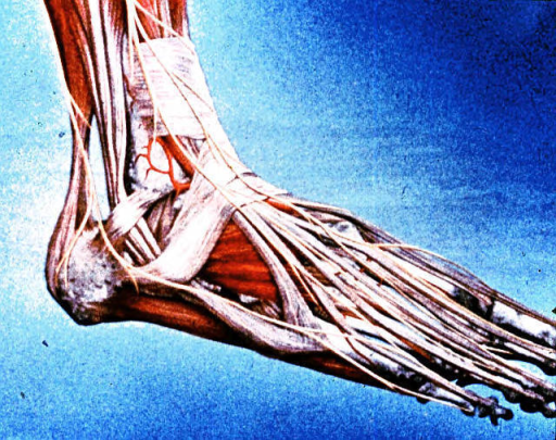 right ankle; right foot; tibialis anterior muscle; extensor digitorum longus muscle; fibularis (peroneus) longus muscle; fibularis (peroneus) brevis muscle; fibularis (peroneus) tertius muscle; extensor digitorum brevis muscle; soleus muscle; gastrocnemius muscle; Achilles (calcaneal)  tendon; adductor digiti minimi muscle; superior extensor retinaculum; inferior extensor retinaculum; peroneal (fibular) retinaculum; lateral malleolus of fibula; calcaneum; deep peroneal (fibular) nerve; superficial peroneal (fibular) nerve; sural nerve