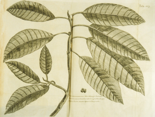 <p>Illustration of a branch and leaves of a ficus plant.</p>